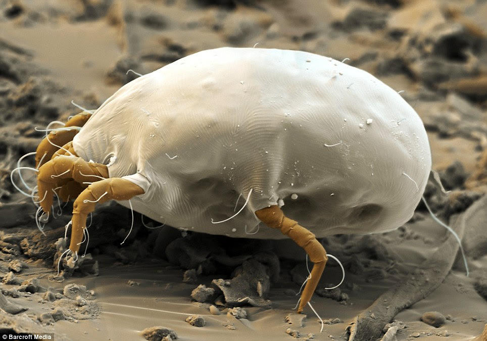 House-dust mite: Feeding on human skin and crumbs of food, up to 10million can live in one mattress. The 0.4mm-long females live up to 70 days and lay up to 100 eggs. A single mite produces around 2,000 droppings and can trigger allergic reactions