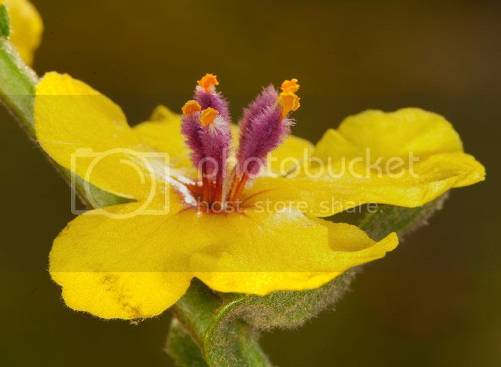photo flor-ameixoeira_zps9d4c81aa.jpg