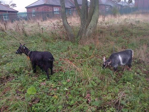 goats at Marley Hill Oct 13 2