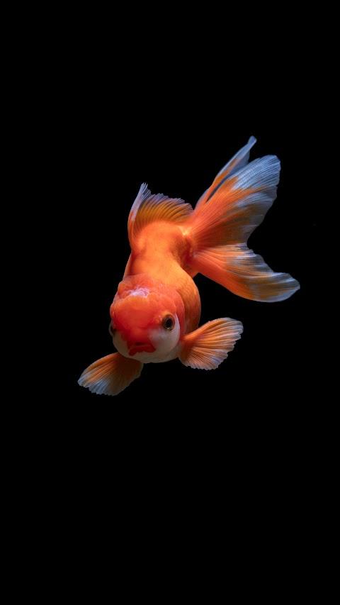 خلفية سمكة مع خلفية سوداء بدقة عالية hd