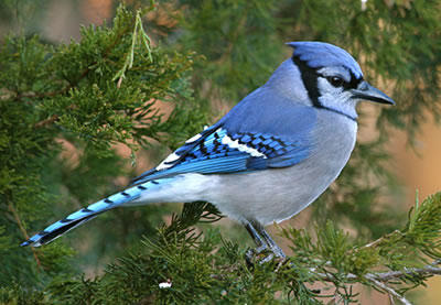 Discover Nature The Blue Jay Is A Native Missouri Songbird Krcu