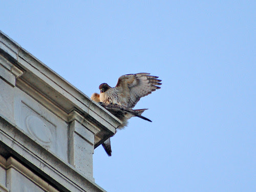 Hawks Mating atop the Hospital