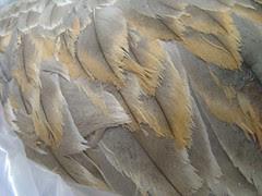 Worn feathers crane