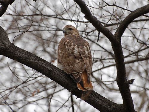 Red-Tailed Hawk in Central Park