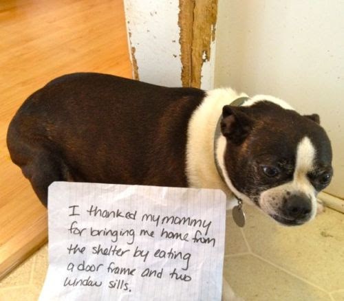 """This is Molly, the very shamed Boston Terror Terrier. Her sign says: """"I thanked Mommy for bringing me home from the shelter by eating a door frame and two window sills.""""    Editor's note: I really love my rescue dogs. Good on you for taking in a shelter dog!"""