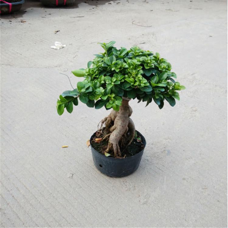 Ficus Ginseng Bonsai Buy Ficus Bonsai Bonsai Cina Akar Bonsai Product On Alibaba Com