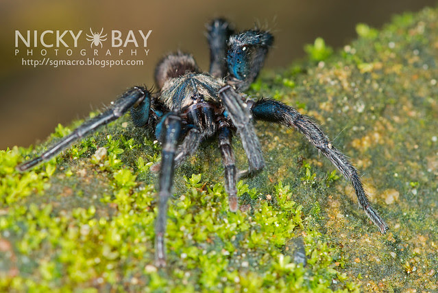 Brush-Footed Trapdoor Spider (Barychelidae) - ESC_0039