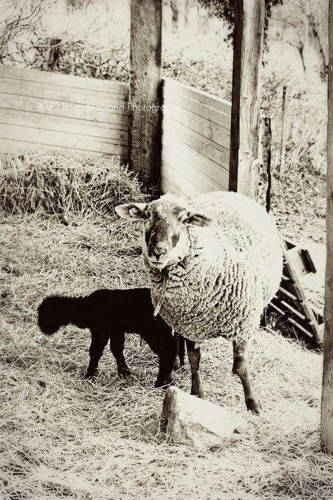 Sheep 2 7 bis
