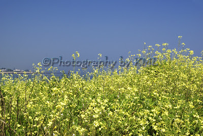 little yellow flowers against the sky and ocean