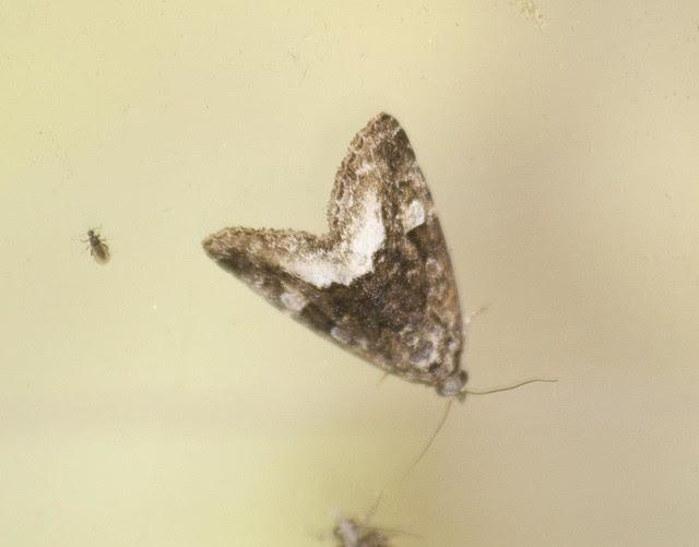 Marbled White Spot moth DSC_4090