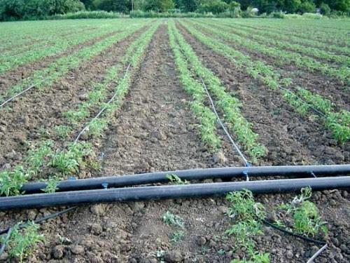 Le Cameroun expérimente la technologie israélienne de l'irrigation goutte-à-goutte