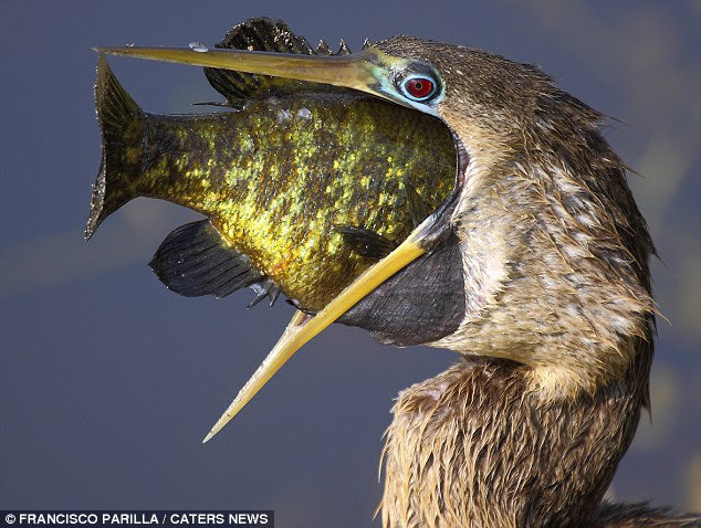 Ambitious: The hungry anhinga gets to grip with a fish bigger than its own head