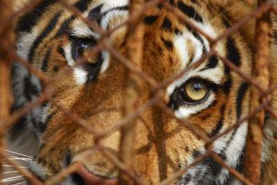 tiger behind wire cage