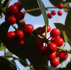 Billede af Kristtorn med røde  bær