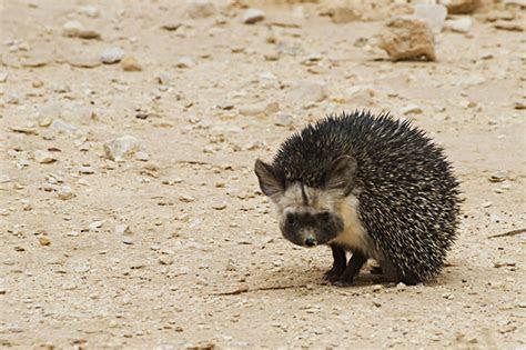 TrekNature   desert hedgehog (Paraechinus aethiopicus Photo
