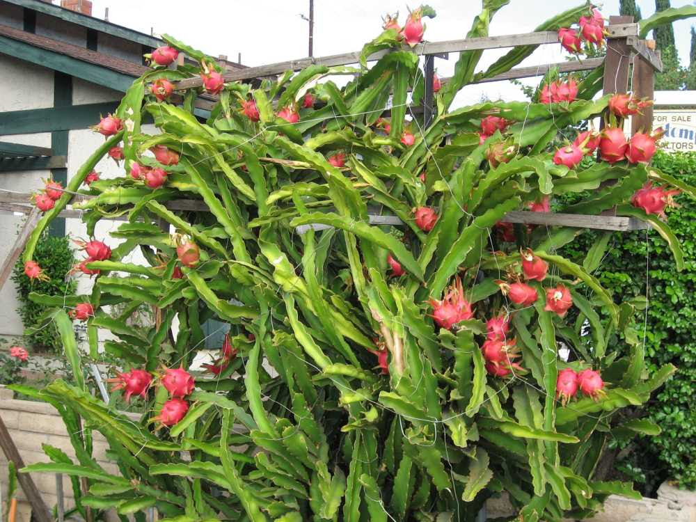 Photo Of Dragon Fruit Plant Dragon Fruit Farm Grow At Home