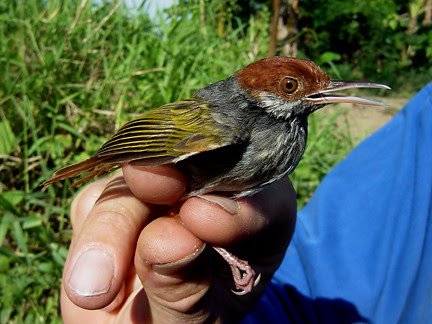 Grey-backed Tailorbird