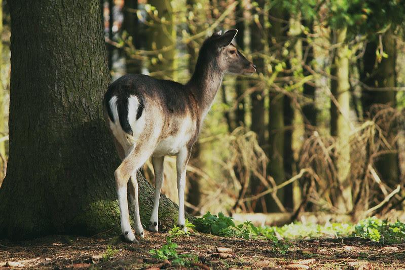 oh my dear deer