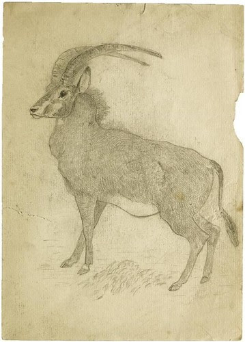 Antelope (pencil)