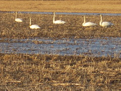 Re-Introduced Trumpeter Swan in Flock