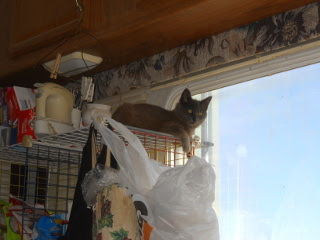 Mimi on Top of the Pantry