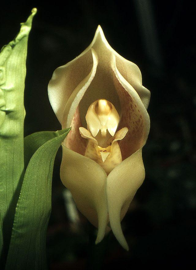 Anguloa uniflora Orchi 002.jpg