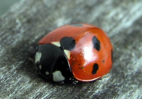 savvyhousekeeping good insects predatory bugs beneficial garden ladybug attracts yard