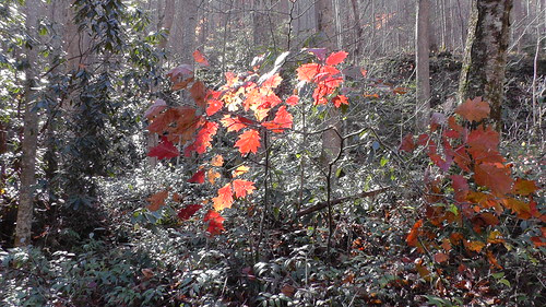 S1140005_Red_Leaves_Along_Little_River_Trail