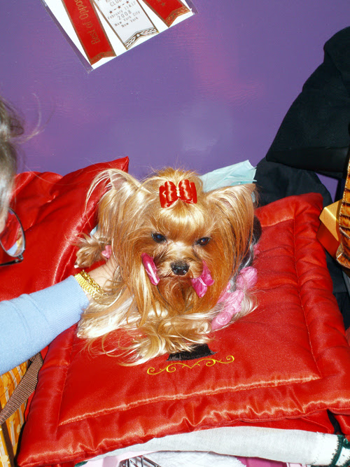 Yorkshire Terrier, Wwestminster Kennel Club Dog Show