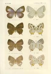 papillon 39