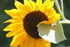 sunflower 048
