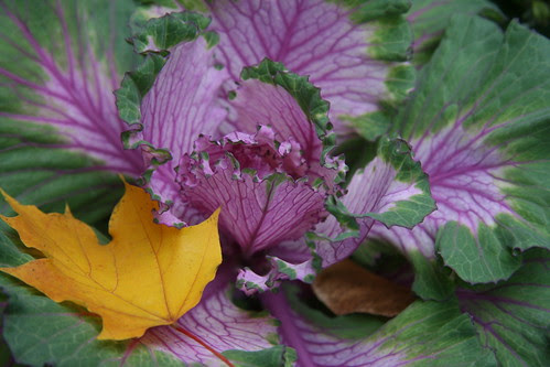 ornamental kale with yellow leaf
