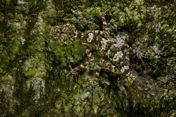 New leaf-tail gecko.
