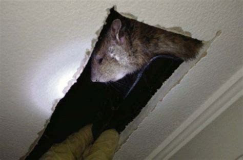 Família encontra rato do tamanho de um gato vivendo dentro de casa