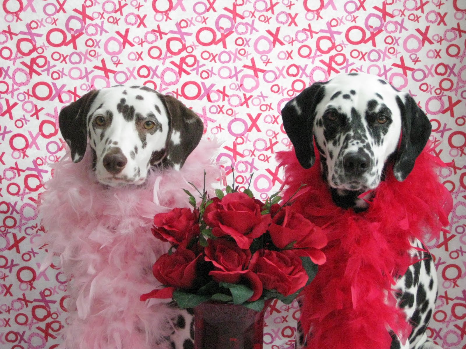 Dalmatian Dogs Married Couple Photo And Wallpaper Beautiful