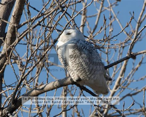 These snowy owls were photographed in the Smithville Lake