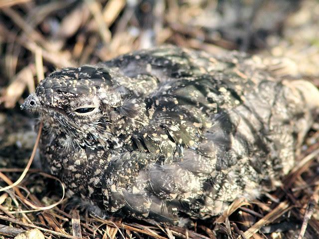 Common Nighthawk nestling 201306
