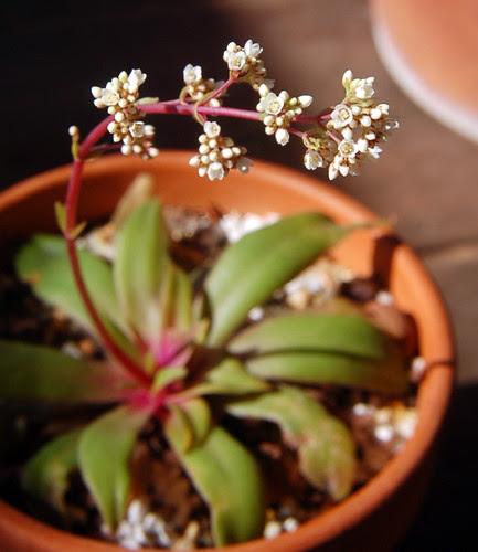 Crassula orbicularis spp rosularis