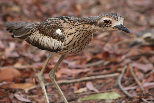 curlew2 010
