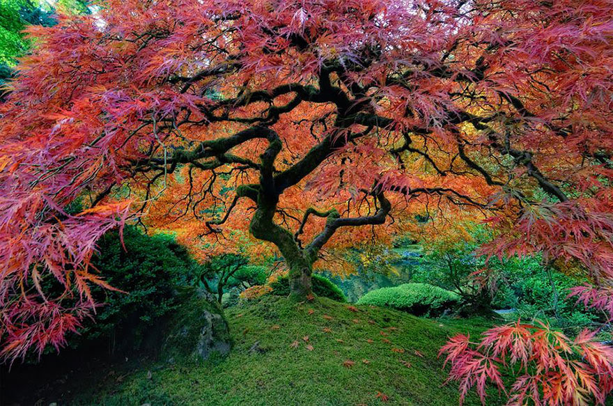 Japanese Maple in Portland, Oregon, USA by falcor88
