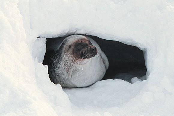 2 seals join polar bears on endangered list