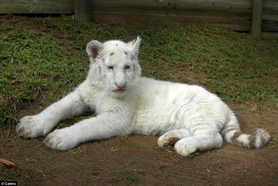 Fareeda is a snow white tiger cub who only has stripe markings on her tail