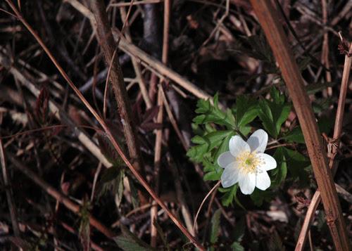 spring :: hvitveis #1