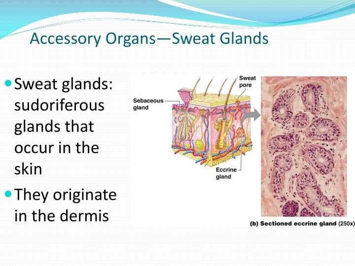 PPT - Chapter 4: Skin and Body Membranes PowerPoint ...