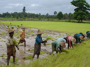 Nederlands: Rijstvelden Myanmar 2006 Français ...