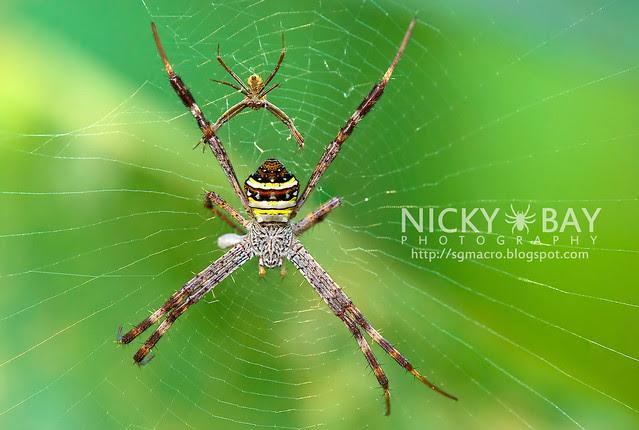 St Andrew's Cross Spider (Argiope pulchella) - DSC_7159