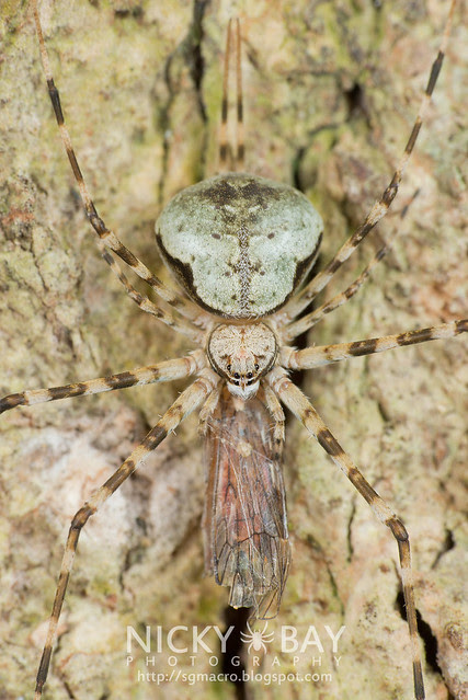 Two-Tailed Spider (Hersiliidae) - DSC_1457