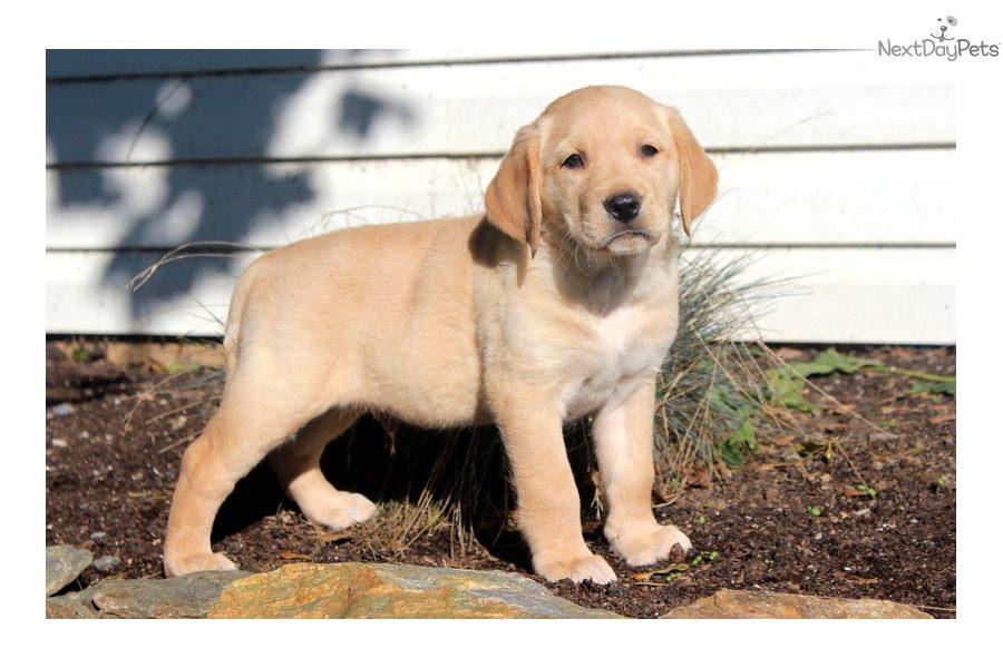 Goldador puppy for sale near Lancaster, Pennsylvania  67cdb737f141