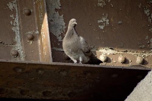 pigeon and iron.jpg