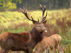 Red deer - Kronhjort (Cervus elaphus), September 2008